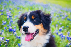 Pure Joy (Lynleigh Cooper) Tags: new family boy portrait favorite dog pet baby pets color cute love dogs nature colors beauty animal animals puppy fun outdoors happy spring nikon colorful flickr texas close sweet outdoor joy adorable vivid happiness son cutie adventure april doggy lovely cuteness aussie fullframe australianshepherd naturalbeauty popular upclose bestfriend doggie bluebonnets furbaby cuteanimals natureshot vividcolor petphotography petpictures nikond610