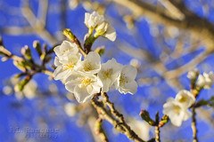 White Cherry Blossoms (J.L. Ramsaur Photography) Tags: flowers flower macro tree nature closeup landscape outdoors photography whiteflower photo spring nikon colorful dof blossom bokeh tennessee blossoms bluesky pic depthoffield photograph cherryblossom cherryblossoms thesouth springtime cumberlandplateau cookeville macrophotography closeupphotography floweringtree beautifulsky 2016 putnamcounty deepbluesky cookevilletn springisintheair skyabove middletennessee cookevilletennessee ibeauty southernlandscape allskyandclouds tennesseephotographer southernphotography screamofthephotographer jlrphotography photographyforgod d7200 engineerswithcameras godsartwork naturespaintbrush jlramsaurphotography nikond7200 cookevegas