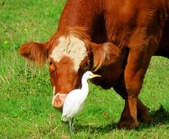 Moo........ve ! (elliott.lani) Tags: brown white green bird nature birds outdoors cow cattle farm bull moo pasture lani egret allrightsreserved naturephotography cattleegret farmyard farmyardanimals burntsienna ardeaibis elliottlani lanielliott