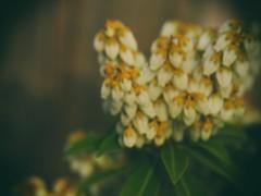 Blooms for Haiku Poetry Day (bjg_snaps) Tags: flowers white spring glow afternoon haiku springtime haikupoetryday
