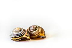 Homes for rent (fishyfish_arcade) Tags: two macro nikon highkey snailshell sigma105mmf28 d3200 macromondays