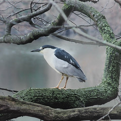 Night Heron Spring Migration (creditflats) Tags: ontario canada tree heron nature night forest pen canon lens spring conservation olympus watershed perch migration mississauga legacy adapted fd 200mm portcredit creditriver ep5