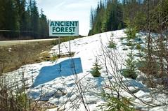 Ancient Forest (miss604) Tags: forest parks northernbc princegeorge ancientforest explorebc