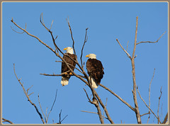 {Spring Eagle Scene - II.} (Wolverine09J ~ 1 Million + Views) Tags: minnesota wildlife baldeagle raptor birdsofprey nestingpair welovewildlife naturestyle naturescreations eaglesperching shieldofexcellencelevel1 level1allnaturesparadise sjohnsonsfauna rainbowofnaturelevel1red frameit~level01 earlyspringsixteen
