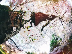 In the City of Whirling Blossoms (rocketcandy) Tags: pink white canada flower nature vancouver cherry afternoon bc blossom britishcolumbia fisheye petal explore photowalk pacificnorthwest cherryblossom sakura cherryblossoms 365 weekends springtime jadore starred jetaime sakuras kinfolk photowalks project365 365days explored 365project chasinglight hellospring momentslikethese vsco vancouverisawesome belovedlife livefolk explorebc feelingspring ilovebc morningslikethese helloapril lifeofadventure igersvancouver vscocam uploaded:by=flickrmobile flickriosapp:filter=nofilter igvancouver kinfolklife myyvr bestofvsco flickriosapp:filter=original vscogood liveauthentic thatsdarling stayandwander loveauthentic aquietstyle livethelittlethings pursuepretty thehappynow darlingweekend flashesofdelight postitfortheaesthetic theartofslowliving darlingdaily thedulcetlife thingsadored theeverydaygirl
