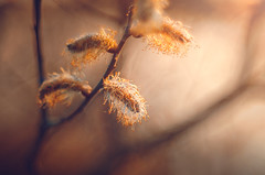 Bad hair day (Psztor Andrs) Tags: sunset orange tree nature yellow lens photography aperture nikon hungary mood dof projector wide grlitz bloom shallow manual dslr f28 meyer andras 80mm optik pasztor d5100 diaplan