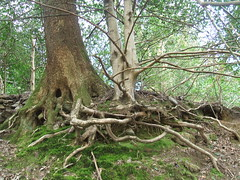 Get knotted! (Bennydorm) Tags: greatbritain trees england tree green nature strange leaves woodland countryside spring lakedistrict roots shapes eerie odd cumbria wierd april knots lakeland twisted ambleside tangled knotted southlakeland