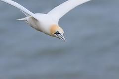 Gannet (ToriAndrewsPhotography) Tags: blue face up photography eyes andrews close yorkshire flight cliffs tori seabird gannet bempton