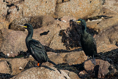 Shags on the rocks (ijw20032000) Tags: scilly