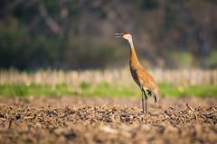 Sandhill Making His Presence Known (jeff_a_goldberg) Tags: bird nature us illinois spring unitedstates crane plano sandhillcrane gruscanadensis