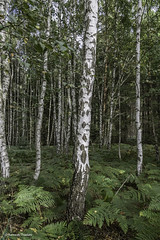 German Birch forest (Ramesh_Thadani) Tags: trees sky fern tree berlin nature forest germany de deutschland natureza natur himmel bosque birch arvore arvores skyward wald floresta bume brandenburg ceu baum farn berlim alemanha birke ber naturalesa frstenberghavel