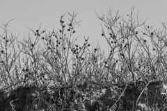 Connect the Dots (brucetopher) Tags: old blackandwhite bw white black monochrome rose blackwhite top dunes dune dry hips dried withered brambles rosehips briers rosarugosa beachrose
