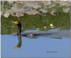 Gliding Cormorant (MyRidgebacks - Sharon C Johnson) Tags: reflection cormorant gliding belmontslough sharoncjohnsonphotography