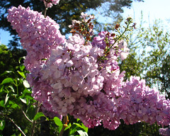 lilac butterfly (lisafree54) Tags: plant flower nature butterfly lavender free lilac cco freephotos