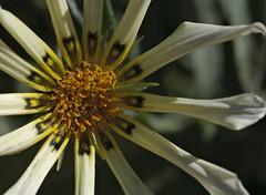 160416 In the garden _DEB0004 copy (debunix) Tags: macro yellow whoami blossombloomflower
