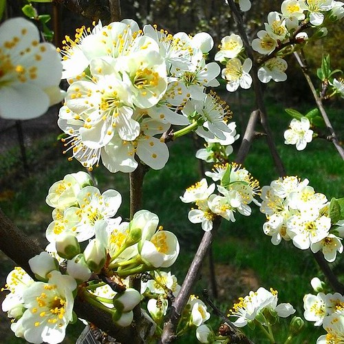 Blossoms everywhere 🌼🌼🌼 #blossoms #springtime #spring #cherryblossom #white #cherries #nature #flowers #nogamewithfilters