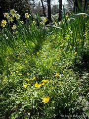 Goldilocks Buttercup (Roger B.) Tags: unitedkingdom barnsley southyorkshire goldilocksbuttercup ranunculusauricomus cannonhallcountrypark