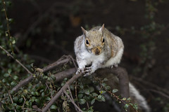 Cheeky chappy (kirsten.cooper) Tags: york gardens museum spring squirrel tamron 70200 f28