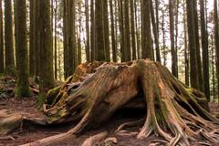 STRAIN (jocelyn.galipeau) Tags: wood travel nature landscape roots taiwan strain