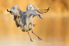 Comin' in Hot! (Jeff Dyck) Tags: newmexico birds crane landing bosque socorro sandhill bosquedelapache sandhillcrane birdinflight gruscanadensis jeffdyck sanantonito