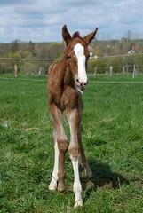 Life is Crazy Seit heute im Team (Heiko Schneemann) Tags: pferde foal fohlen lifeiscrazy