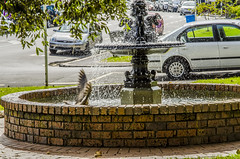 Local bird taking a dip in the fountain (firstfire53) Tags: newzealand devonport