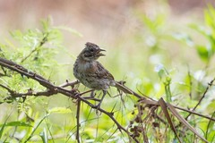 Pichon de chingolo? (LeoNardo 316) Tags: bird ave pajaro entrerios vogel federacion chingolo