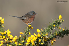 Dartford Warbler, Sylvia undata (Midlands Reptiles & British Wildlife Diaries) Tags: morning blue red england david bird eye beautiful birds yellow start canon spectacular photography coast early bill big bush european singing feeding song south tail beak feathers dream hampshire nixon ring professional 600 dorset 7d buy british ornithology purchase sylvia warbler reptiles dartford midlands prickles gorse twitcher wondeful 100400 600mm bockeh 7d2 undata 600mmf4 600f4 600mmf4is 7dmkii dnphotography 600f4is