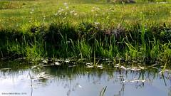 PINKSTERBLOEMEN NATUURPARK OVERSTEGEN (Anne-Miek Bibbe) Tags: primavera nature spring abril nederland natuur april aprile lente avril printemps frhling doetinchem voorjaar 2016    bibbe annemiekbibbe canoneos700d canoneosrebelt5idslr natuurparkoverstegen