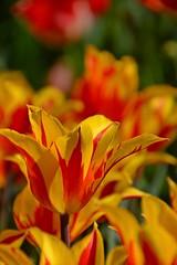 (armykat) Tags: flowers floral gardens garden petals tulips flowerbed tulip longwoodgardens natureycrap kennettsquarepennsylvania tulipalooza tulipalooza2016
