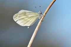 D71_5558A (vkalivoda) Tags: white macro butterfly insect bokeh outdoor depthoffield serene makro schmetterling bl woodwhite motl leptideasinapis senfweisling blsek blsekhrachorov mlynrikhrachorov resslovahjenka