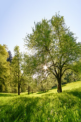 Julia and the mountain meadow (OMD1961) Tags: trees sun girl austria sterreich sunstar vorarlberg bergwiese 14mm samyang gtzis sonya7rii streuobstweise