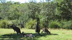Pretty Beach roos on camp ground (spelio) Tags: camping camp coast wildlife australia tm nsw kangaroos 2016 murramarang