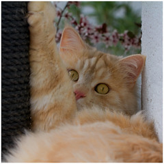 Know what, I'm bored ! (FocusPocus Photography) Tags: pet animal cat chat linus gato katze haustier kater tier