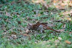 Peanut Selection (Gabriel FW Koch) Tags: wild food brown white green canon eos spring dof bokeh wildlife hunting shell telephoto peanut nut thrush pecking woodlandthrush