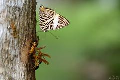 Dirce beauty (Colobura dirce) (ggallice) Tags: butterfly wasp mariposa sap avispa nymphalidae verbenaceae polistes coloburadirce zebramosaic dircebeauty vitexsimosa