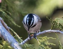 Mountain Chickadee (Laura Erickson) Tags: california birds places species passeriformes poecilegambeli mountainchickadee sanbernardinonationalforest paridae