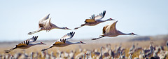 Sand Hill Cranes (JRJImages) Tags: bird nature field fauna nebraska sandhillcrane platteriver cranetrust