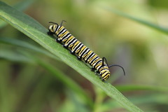 Monarch Caterpillar (LizabethL) Tags: plant butterfly bug insect outdoor caterpillar monarch milkweed butterflyweed