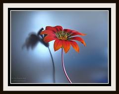 MUTLU YILLAR (COSKUNTUNA ... 1.999.000 ... THANK YOU) Tags: flowers blue red black flower reflection beautiful beauty canon drops bravo dof iek 2015 doa duble coskuntuna