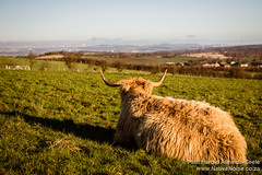 Highland Coo in Beecraigs Country Park, Scotland