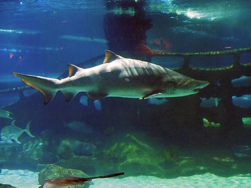 Greater Cleveland Aquarium 01-22-2015 - Sandtiger Shark 3