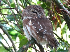 Northern Saw-whet Owl - Delta, BC (Michael Klotz - The Bird Blogger.com) Tags: sleeping brown canada green water drops bc sleep britishcolumbia birding feathers delta holly spots owl streaked birdwatching birder aegoliusacadicus northernsawwhetowl westhamisland thebirdbloggercom