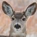 A very pretty mule deer doe