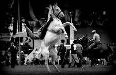 El tordillo reservado (Eduardo Amorim) Tags: horses horse southamerica argentina criollo caballo cheval caballos cavalos pferde herd cavalli cavallo cavalo gauchos pferd ayacucho chevaux gaucho cavall  amricadosul gacho amriquedusud provinciadebuenosaires  gachos  sudamrica suramrica amricadelsur sdamerika crioulo caballoscriollos criollos jineteada  tropillas buenosairesprovince americadelsud gineteada tropilhas tropilla crioulos cavalocrioulo americameridionale tropilha caballocriollo eduardoamorim cavaloscrioulos