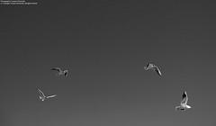 Gabbiani in volo (kant53) Tags: italy ali uccelli volo gabbiani italyroma volatili fiumicinorm