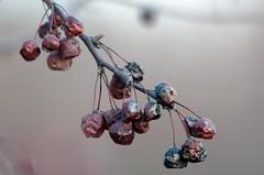 Late berries (gdajewski) Tags: ny berries dof bokeh albany teleconverter crossings tc20eii colonieny nikkor70200mmf28gafsvr nikond7000 dajewski gdajewski