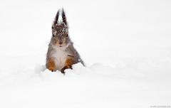 Orava (mattisj) Tags: suomi orava mammalia rodentia elimet sciurusvulgaris sciuridae tornio oravat niskkt lapinlni lapinmaakunta kemitornionseutu jyrsijt srkinrntie324