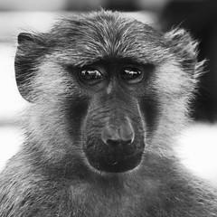 UGANDA: ANUBIS BABOON (Luz D. Montero Espuela. +2 Millones Visitas. Gra) Tags: africa trip travel blackandwhite look wildlife viajes uganda mirada primate afrique murchisonfallsnationalpark eastafrica frica k7 papin papioanubis anubisbaboon pentaxk7 luzdmonteroespuela