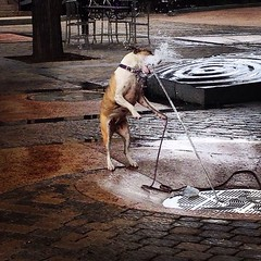 Fort Collins, CO (Robert Borden) Tags: dogs water drink gulp